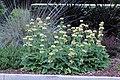 Phlomis russeliana IMG 0105.jpg