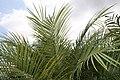 Phoenix roebelenii 40zz.jpg