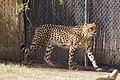 Phoenix zoo, Arizona, USA (33226568265).jpg
