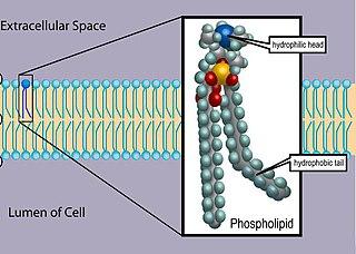Phospholipid lipids containing phosphoric acid as a mono- or di-ester