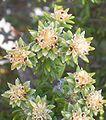 Phylica nitida flowers.JPG