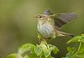 Phylloscopus trochilus vogelartinfo chris romeiks CHR4730.jpg