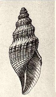 <i>Phymorhynchus sulciferus</i>