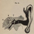 Physiology for Young People - 1884 - The ear.png