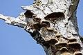 Pica-pau-malhado pequeno ou Pica-pau-galego ( Dryobates minor ) (49871071987).jpg
