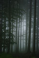 Picea abies - forest.jpg