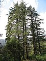 Picea sitchensis - geograph.org.uk - 1028204.jpg