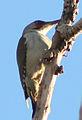 Picus viridis sharpei 068.jpg