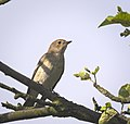 Pied flycatcher (36961205993).jpg