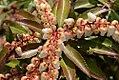 Pieris japonica Dorothy Wycoff 3zz.jpg