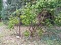Pieris japonica Kőszeg1.jpg