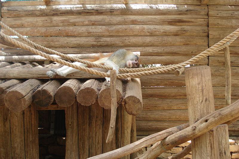קוף ישן על הגג
