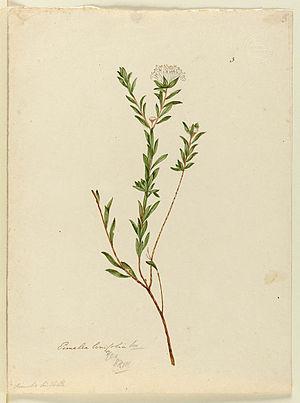 John Lewin - Image: Pimelea linifolia