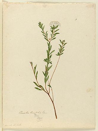 Pimelea linifolia - Image: Pimelea linifolia
