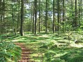 Pine trees in Farley Moor Wood - geograph.org.uk - 254862.jpg