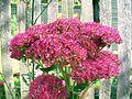 Pink flowers (4032462994).jpg