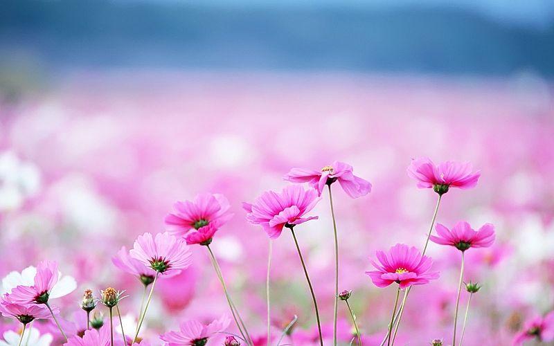Filepink flowers fieldg wikimedia commons filepink flowers fieldg mightylinksfo