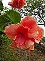 Pink hibiscus rosa sinensis.jpg