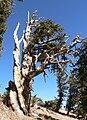 Pinus longaeva 10.jpg