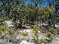 Pinus lumholtzii, Mezquital, Durango, Mexico 1.jpg