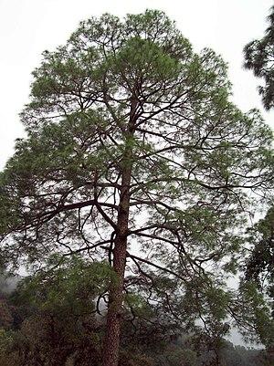 Pinus roxburghii - Pinus roxburghii, Uttarakhand, India