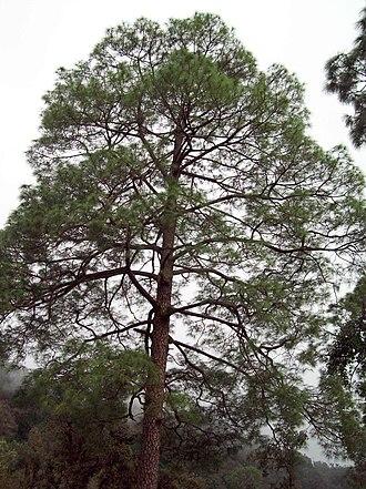 Pinus roxburghii - P. roxburghii in Uttarakhand, India