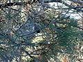 Pinus sabiniana Mount Diablo 3.jpg
