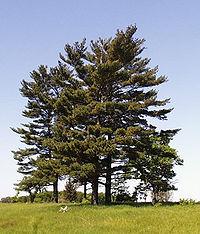Pinus strobus trees.jpg