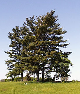 <i>Pinus strobus</i> species of plant, eastern white pine