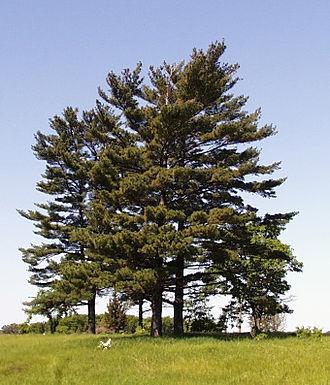 Pinus strobus - Group of Pinus strobus trees