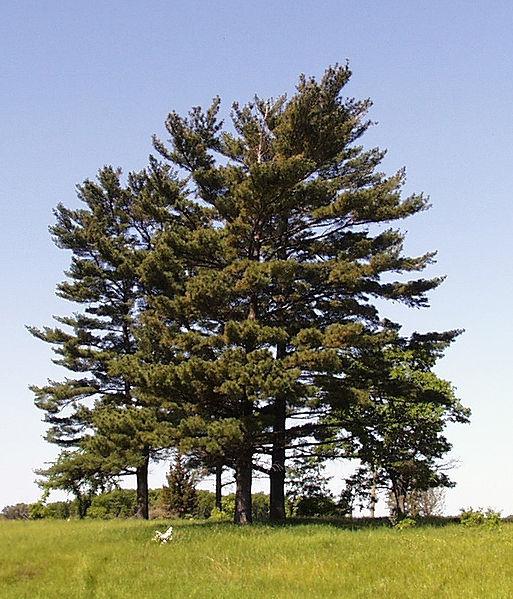 File:Pinus strobus trees.jpg