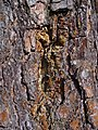 Pinus sylvestris 002.JPG