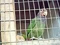 Pionus tumultuosus -La Merced Zoo-2a.jpg