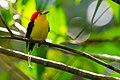 Pipra filicauda - Wire-tailed Manakin.jpg