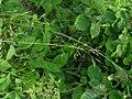 Piptatherum canadense 2-jgreenlee (5097356631).jpg