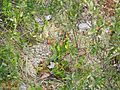 Pitcher Plant & Leatherleaf (5086362455).jpg