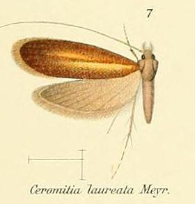 Pl.2-07-Ceromitia laureata Meyrick.JPG