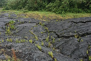 Pioneer species - Pioneer species of plant growing in cracks on a solidified recently erupted lava flow in Hawaii