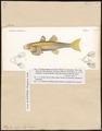 Platyptera aspro - 1700-1880 - Print - Iconographia Zoologica - Special Collections University of Amsterdam - UBA01 IZ13600117.tif