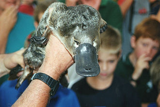 Platypus - Platypus shown to children.