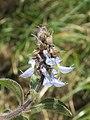 Plectranthus barbatus from Ooty (6).jpg