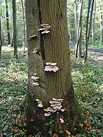 Μύκητες της οικογένειας pleurotus