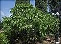 Plumeria--Bahai-Gardens-Akko-IZE-0031.jpg