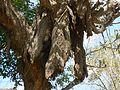 Plumeria rubra (517428533).jpg