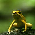Poison Dart Frog (14683846056).jpg