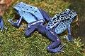 Poison Dart Frog (Dendrobates azureus).jpg