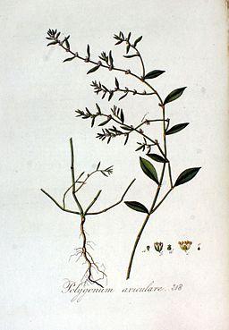 Polygonum aviculare — Flora Batava — Volume v3
