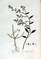Polygonum aviculare — Flora Batava — Volume v3.jpg