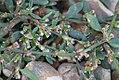 Polygonum oxyspermum subsp. raii inflorescence (02).jpg
