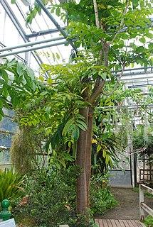 <i>Polyscias aemiliguineae</i> species of plant